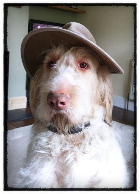 SPINONE PUPPIES - www