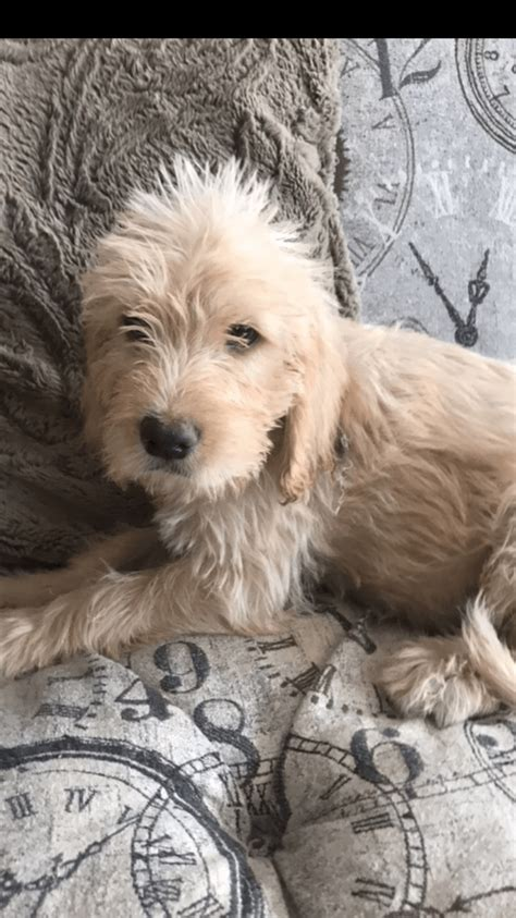 Spinone Italiano Puppies For Sale   Pepper Pike, OH #284157