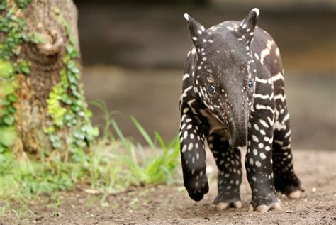 World Tapir Day 2016: Cutest pictures of the long-snouted