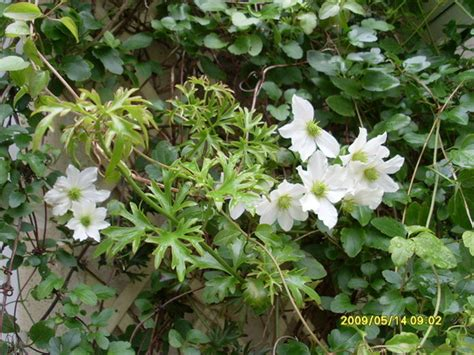 Clematis Avalanche (Evergreen) : Grows on You
