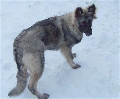 Shiloh Shepherd Dog Breed Pictures, 8