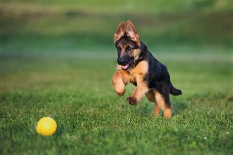 Shiloh Shepherd: The Complete Guide For This Giant Breed